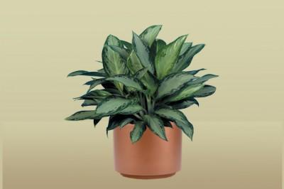 Aglaonema Silver Bay Plant