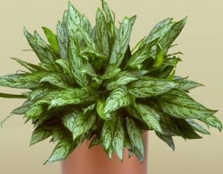 Aglaonema Silver Queen Plant