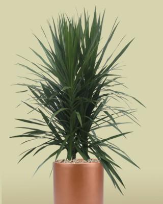 Dracaena Tarzan Plant