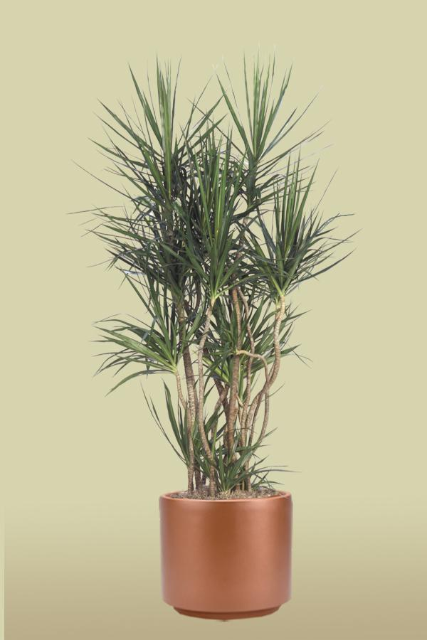 Red Edge Dracaena or Madagascar Dragon Tree | Foliage ...