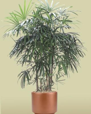 Rhapis Lady Palm