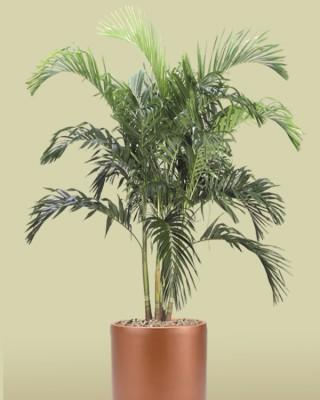 Christmas Palm Plant