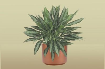 Black Lance Ag Plant