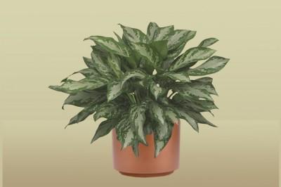 Aglaonema `Jubilee' Plant