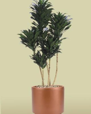 Dracaena deremensis `Janet Craig Compacta' (cane form) Plant