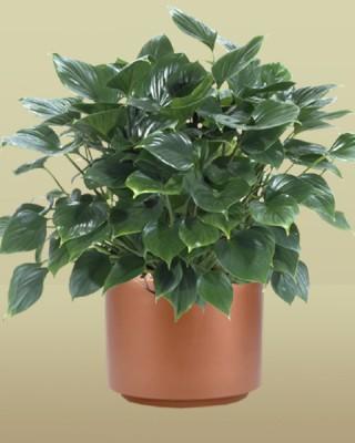 Homalomena `Emerald Gem' Plant