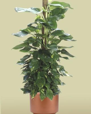Golden Pothos Totem Plant