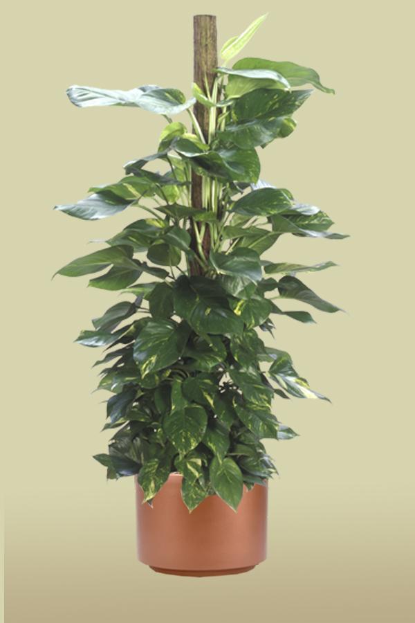 Golden Pothos Totem Foliage Design Systems Corporate