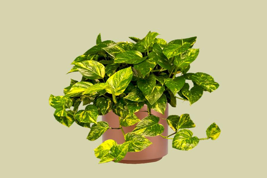 Golden Pothos Foliage Design Systems Corporate