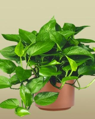 Jade or Green Pothos Plant