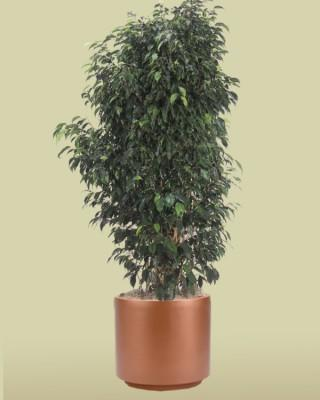 Ficus Midnight Bush Plant