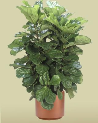 Fiddle Leaf Fig Bush Plant