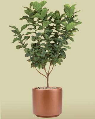 Ficus lyrata (standard form) plant