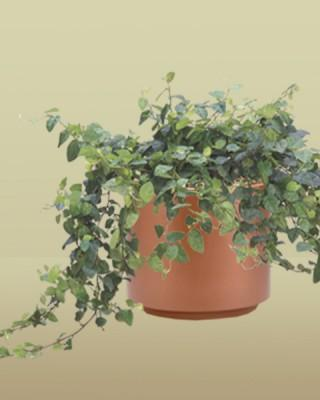 Climbing or Creeping Fig Plant