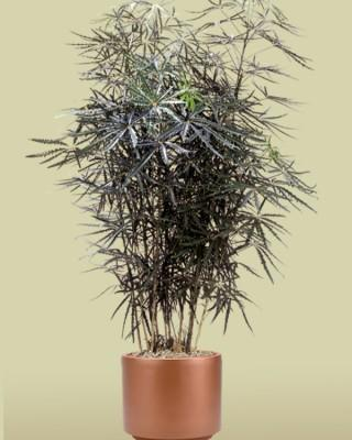 False Aralia Plant