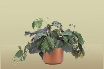 Chestnut Vine Plant