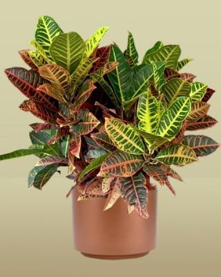 Croton Norma Plant