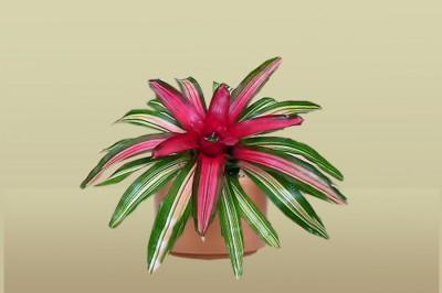Neoregelia Tricolor Bromiliad