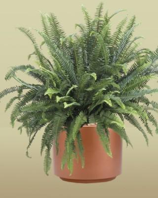 Kimberly Queen Fern Plant