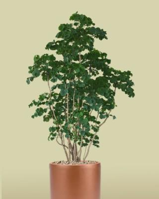 Chicken Gizzard Aralia Plant