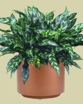 Aglaonema `Emerald Beauty' Plant